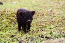优良藏香猪种