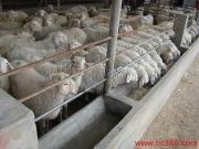 內蒙小尾寒羊養殖技術 小尾寒羊價格