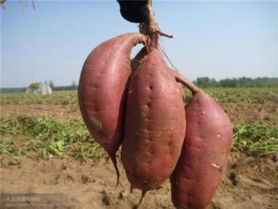 红薯厂家直销