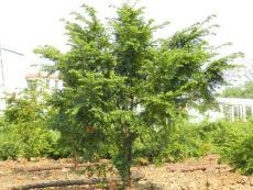 东北红豆杉 东北红豆杉栽培 东北红豆杉苗圃