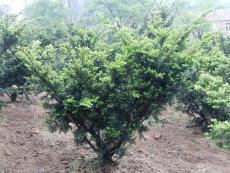 日本紫杉 日本紫杉批发 日本紫杉苗圃