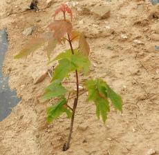 美国红枫 日本红枫 欧洲红枫栽培种植基地