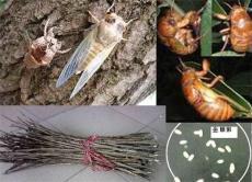 金蝉养殖-金蝉养殖技术-养殖信息