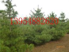 华山松 华山松举国绿化木提供优质华山松