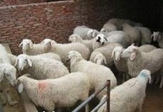 低价出售小尾寒羊 羔羊 育肥羊 免费送货