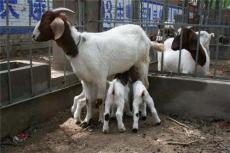 小尾寒羊的養殖 山東小尾寒羊的價格