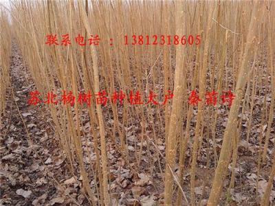 107杨树苗种植基地108杨树苗价格行情