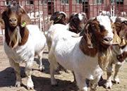 2013年白山羊價格/波爾山羊養殖場/
