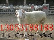 养羊挣钱吗 小尾寒羊养殖挣钱吗